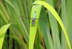 Blue Dragonfly on rush royalty free stock photo