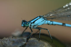 Blue dragonfly and shell 2. Close up photo with blue dragonfly and shell Royalty Free Stock Image