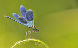 The blue dragonfly Stock Images
