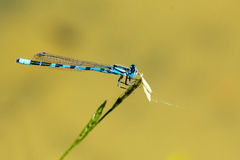 Blue dragonfly sitting on a blade of grass Stock Photo