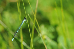 Blue dragonfly sitting on a grass stalk Stock Images