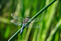 Blue dragonfly sitting, green bokeh background, closeup macro. Calm dragonfly is sitting on the pland, macro closeup Royalty Free Stock Photos