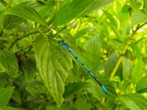 Dragonfly is sitting on green grass. Blue dragonfly is sitting on green grass Royalty Free Stock Photography