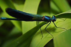Blue dragonfly sitting on the green leaf Stock Photo