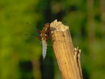 Blue dragonfly sitting on a pole, view from the back - Anisoptera. Blue dragonfly sitting on a wood poleclose-up, view from the back with bokeh background stock photo