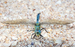Blue dragonfly sitting on the sea shells Stock Image