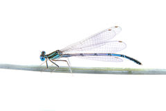 Blue dragonfly sitting on a straw on a white background Stock Images