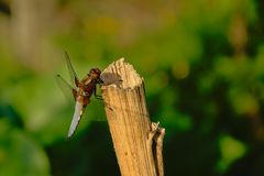 Blue dragonfly sitting on a pole, close-up, side view - Anisoptera. Blue dragonfly sitting on a wood poleclose-up, side view with bokeh background royalty free stock photography
