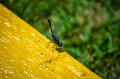 Blue dragonfly sitting on yellow background Royalty Free Stock Images