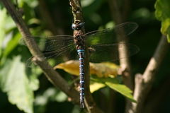 Blue Dragonfly Southern Migrant Hawker stock images