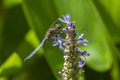 Blue dragonfly on spike of lily Stock Photos
