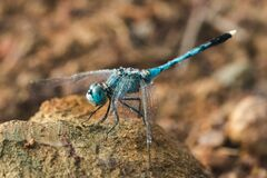 Blue dragonfly on stone In the morning