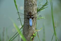 Blue Dragonfly on the tree trunk of a willow near the pond - Odonata. Blue Dragonfly on the tree trunk of a willow near the pond - Odonata royalty free stock image