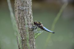 Blue Dragonfly on the tree trunk of a willow near the pond - Odonata. Blue Dragonfly on the tree trunk of a willow near the pond - Odonata royalty free stock photo