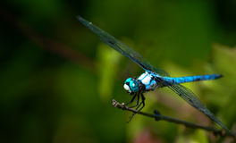 Blue dragonfly. A close-up of a blue dragonfly, stationary on a twig with its wings spread out Royalty Free Stock Photo
