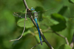 Blue dragonfly   on a twig and eats caught cicada. Royalty Free Stock Photography
