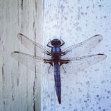 Blue Dragonfly On Wall Stock Photo