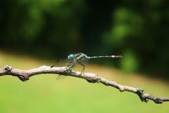 Blue Dragonfly. Wild bluedasher dragon fly macro Royalty Free Stock Photo