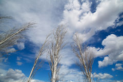 Blue dramatic sky in winter with leafless poplar Royalty Free Stock Photo