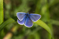 Blue Dress. Butterfly Lycaenidae on the meadow. Macro photography of nature Stock Photo