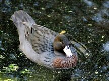 Blue Duck (Whio), Stock Photos