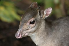 Blue Duiker Antelope. The very small and shy Blue Duiker antelope in a forest in South Africa Stock Photo