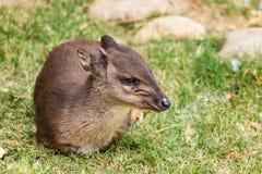 Blue Duiker. Philantomba monticola antelope Stock Photos