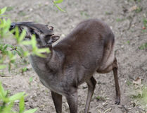 Blue duiker Royalty Free Stock Image