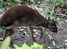 Blue duiker. Philantomba monticola is searching for food. Foto taken in bruger zoo Arnhem Stock Photography