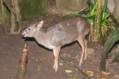 Blue duiker Royalty Free Stock Photography