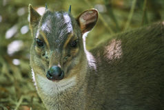 Blue Duiker. A small Blue Duiker looks at the camera in dappled shade.  The smallest member of the antelope family Royalty Free Stock Photos