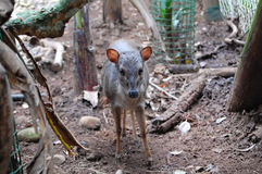 Blue Duiker Royalty Free Stock Images