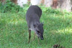 Blue Duiker Stock Photos