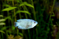 Blue Dwarf Gourami Stock Images