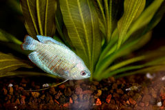Blue Dwarf Gourami Royalty Free Stock Image