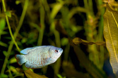 Blue Dwarf Gourami Royalty Free Stock Photography
