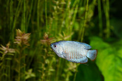 Blue Dwarf Gourami Stock Photos