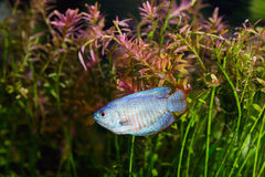 Blue Dwarf Gourami Royalty Free Stock Photos