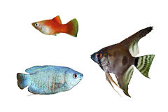 Blue Dwarf Gourami, Red Platy and angelfish pterophyllum scalare. Aquarium fishes isolated on a white background Royalty Free Stock Photo