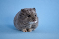 Blue Dwarf Hamster Royalty Free Stock Photos