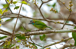 Blue-eared barbet Stock Image