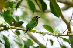 Blue-eared barbet Royalty Free Stock Image