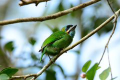 Blue-eared barbet Royalty Free Stock Images