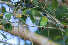 Blue-eared Barbet Stock Images