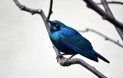 Blue-eared Glossy Starling Stock Photos
