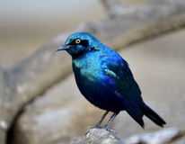Blue-eared Glossy Starling Royalty Free Stock Photo