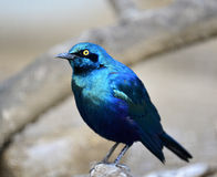 Blue-eared Glossy Starling. A bird looking for foo Stock Images
