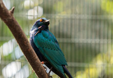 Blue eared glossy starling Lamprotornis chalybaeus Stock Image