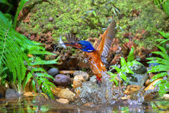 Blue-eared Kingfisher – Male Stock Photography