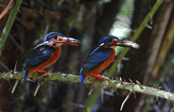 Blue-eared Kingfisher Alcedo meninting Stock Images